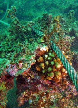 辺野古サンゴ ワイヤで傷