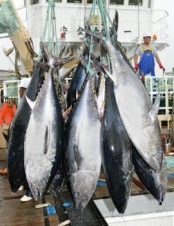 メキシコ産クロマグロ自粛要請へ 水産庁