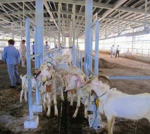 ヤギ肉需要増 「血圧上げず」で価格上がる