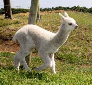 牧場を駆け回るアルパカの赤ちゃん=4日、千葉県富津市の「マザー牧場」