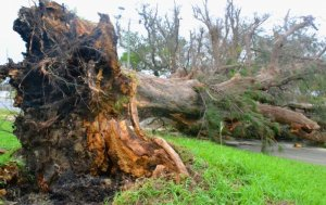 強風によってなぎ倒された木=午前10時25分ごろ、石垣市大浜(比嘉太一撮影)