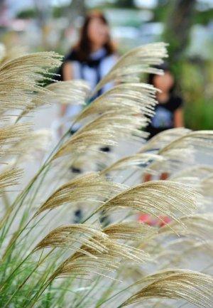 秋空の下、輝くススキの穂=22日午後、糸満市西崎