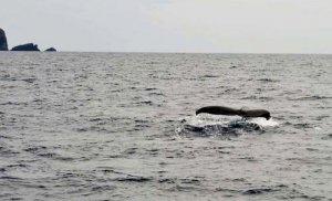 尾びれを見せて泳ぐザトウクジラ=21日午後1時ごろ、座間味村から南西約4キロ沖(宮城清さん撮影)