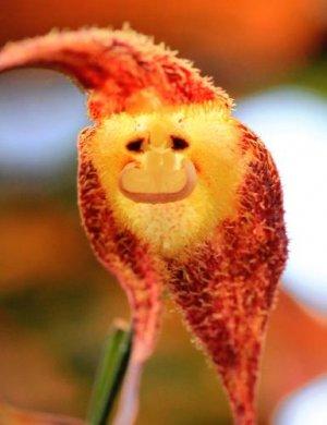 花がサルの顔に見える「モンキーオーキッド」(海洋博公園熱帯ドリームセンター提供)