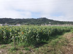 1月5日時点で大半が下を向いている1万平方メートルのヒマワリ(北中城村提供)