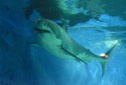 美ら海水族館で飼育されていたホホジロザメ
