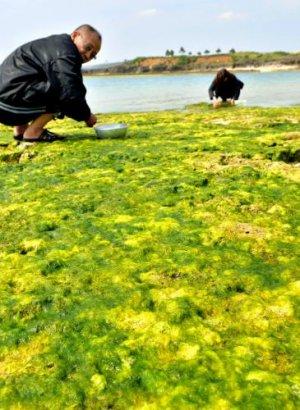 潮が引いた岩場に青々としたアーサが付き、多くの人が採りに訪れた=18日午前、南城市玉城・奥武島(伊藤桃子撮影)