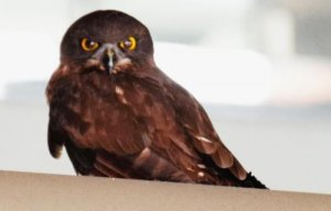 沖縄県警察本部の玄関上に現れたフクロウ