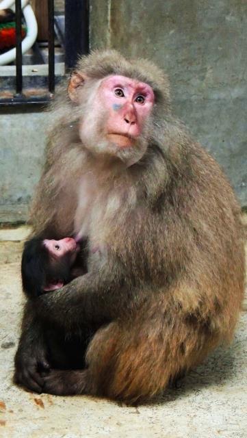 ヤクシマザルの赤ちゃん誕生!