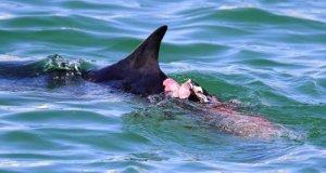 サメに襲われたとみられる痛々しい傷を負い、漁港内をさまようイルカ=石垣市新栄町の漁港内