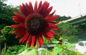 濃い赤色の花を付けたヒマワリ=名護市大北