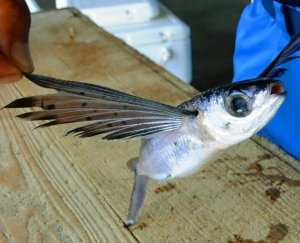 町魚のトビウオ=16日、八重瀬町の港川漁港
