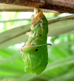 (2)全身を脱皮する前蛹(幼虫)。中から触角のような形をした抜け殻が出てきている