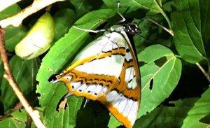 (4)蛹化個体のそばで羽化した成虫。左に見えるのがさなぎの抜け殻