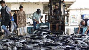 水揚げされるカツオ。近年は漁獲量が減少している=2016年4月、本部町・渡久地港