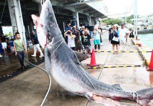 八重山漁協に運ばれた駆除されたサメ=8日、石垣市・八重山漁協水揚げ場