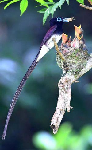 親鳥に餌をねだるサンコウチョウのヒナ=6日、八重瀬町(下地広也撮影)