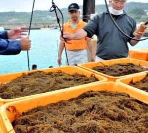 収穫した早摘みモズクの水揚げをする知念漁協の関係者ら=17日、南城市知念・志喜屋漁港