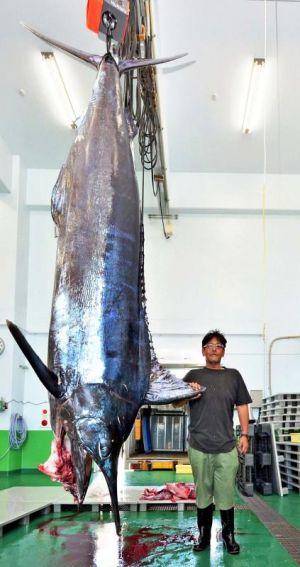 1時間の格闘の末、618キロのクロカワカジキを釣り上げた真栄田義夫さん=24日、与那原町・当添漁港(与那原町提供)