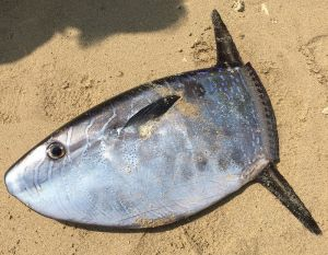 名護市港の海岸で発見されたクサビフグ=2月15日(提供)