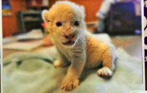 来年春に沖縄こどもの国にやってくるホワイトライオン。同園の新しいアイドルになりそうだ。