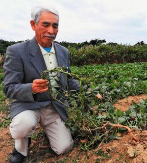 ヘリが不時着した農道の隣の畑で、焦げた黄金芋の葉を拾う農家の男性