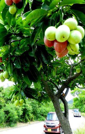 実を付けた街路樹のオキナワキョウチクトウ=石垣市崎枝