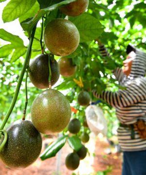 たわわに実ったパッションフルーツを収穫する農家=27日午前、糸満市大里(渡辺奈々撮影)