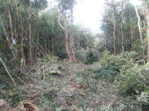 東村高江のヘリパッド建設予定地N1地区近くの伐採現場(提供)