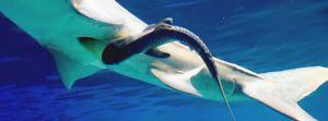 母イタチザメのおなかの中から出てきた子ザメ=23日午後3時(沖縄美ら海水族館提供)