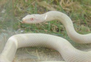 長嶺初男さんが庭で見つけた白いヘビ。捕まえた翌24日、入れるための虫篭を買ってきたという=24日、糸満市武富