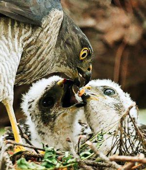 ヒナに小鳥の肉片を与えるツミの親鳥=3日、那覇市内の公園(下地広也撮影)
