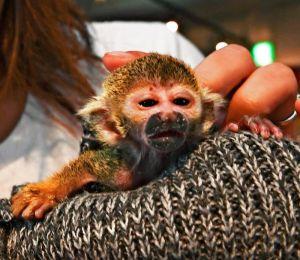 スタッフに抱かれるリスザルの赤ちゃん「ドビー」=8日、那覇市牧志・「モンキーのいるレストラン&BAR沖縄」