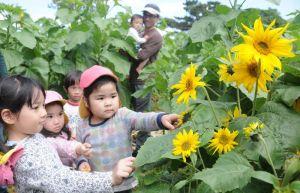 福島県産の種を使ったヒマワリ畑の迷路を楽しむ子どもたち=11日、糸満市摩文仁の平和祈念公園